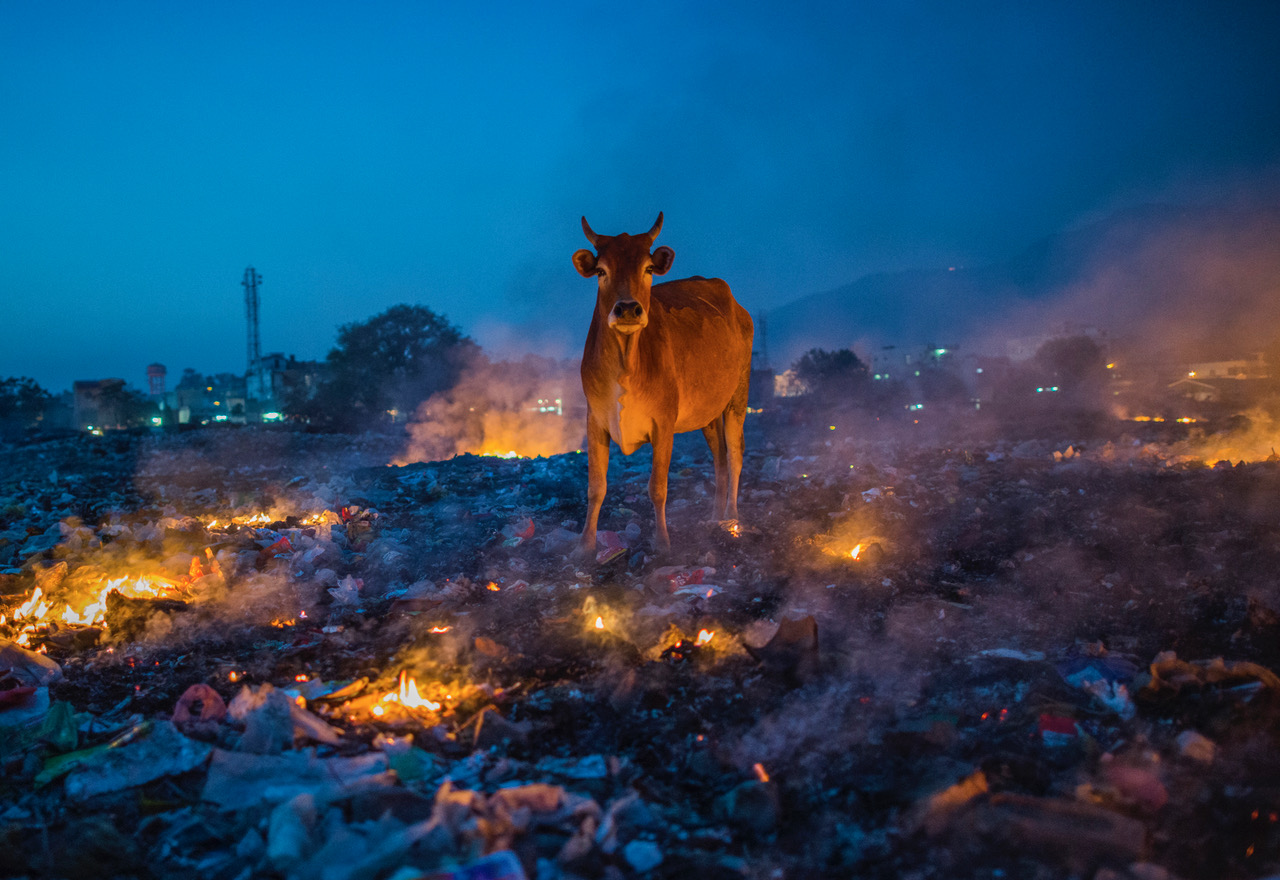 A cow stands among burning garbage at dusk in India.